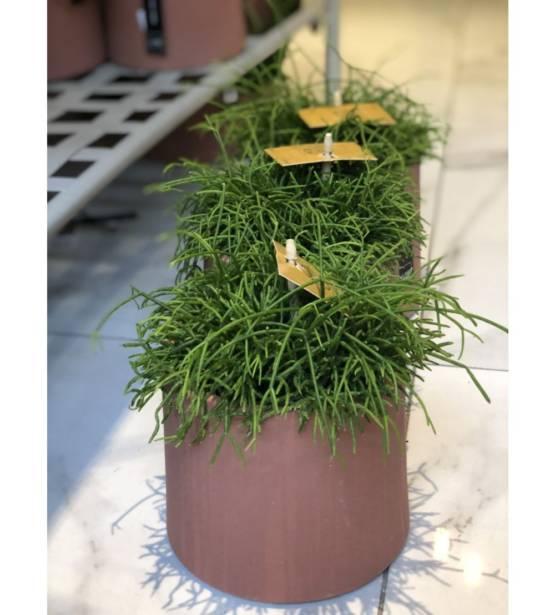 Rypsalis vetplant in bruine pot