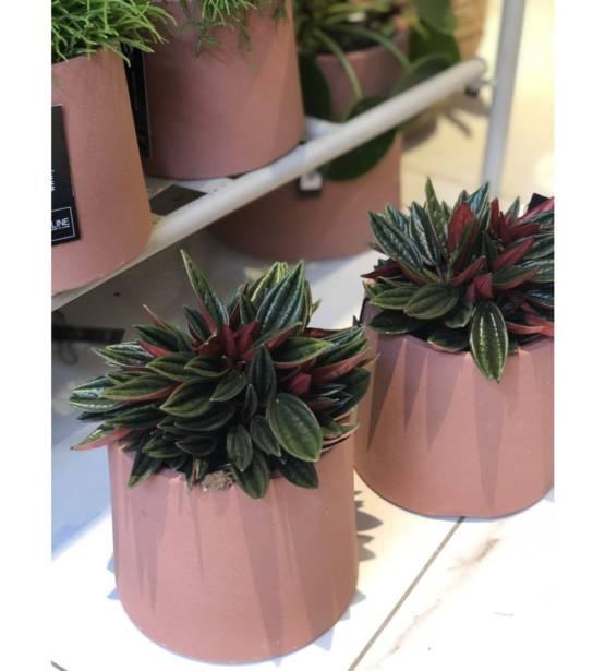 Peperomia cactus in bruine pot