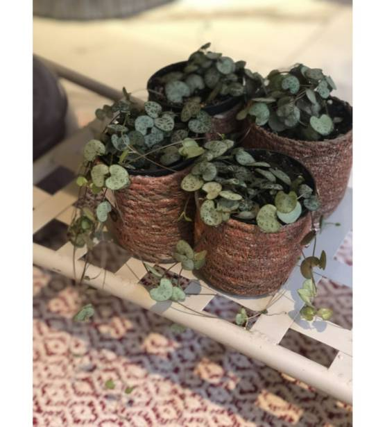 Ceropegia in riete pot - chinese lantaarnplant